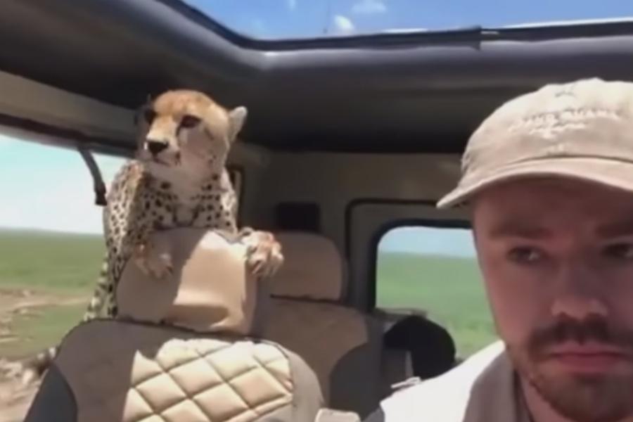 Un guepardo asalta el interior de un coche en pleno safari