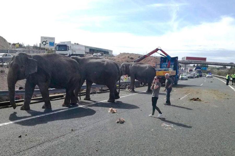 Varios elefantes sueltos invaden una carretera en Albacete